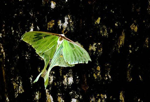 Randall Branham - Luna Moth on Tree