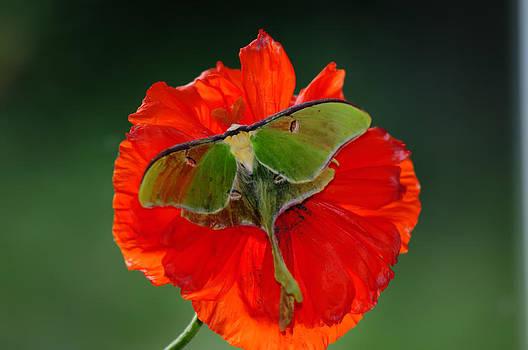 Randall Branham - Luna Moth orange poppy green Bg