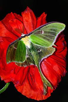 Randall Branham - Luna Moth poppy black background