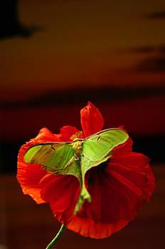 Randall Branham - Luna Moth Poppy evening sky