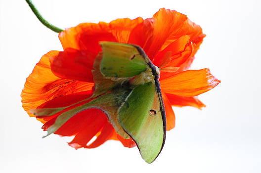 Randall Branham - Luna Moth poppy High Key