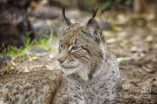 Patricia Hofmeester - Lynx in close up