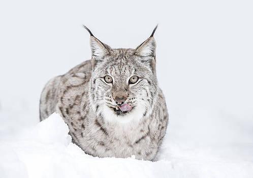Lynx Wild Cat by Andy Astbury