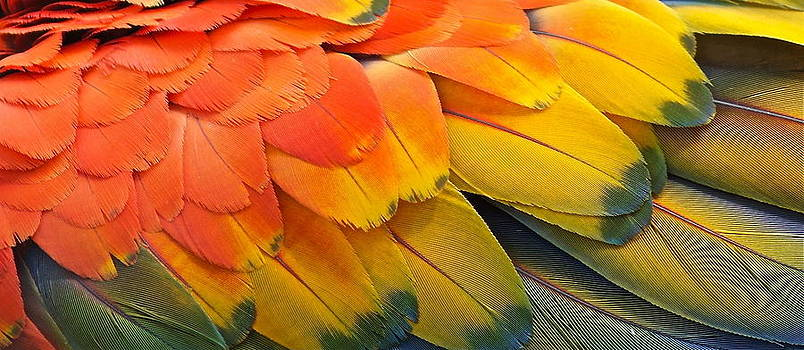Macaw Yellow by Colleen Renshaw