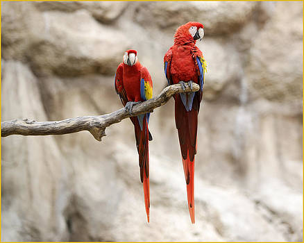 Macaws Perched by Fuad Azmat