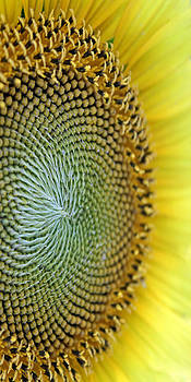 Carolyn Stagger Cokley - macro sunflower1326