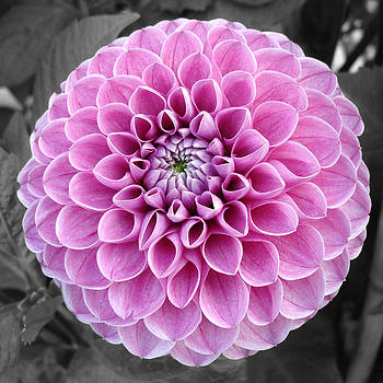 Sumit Mehndiratta - Magenta Dahlia flower