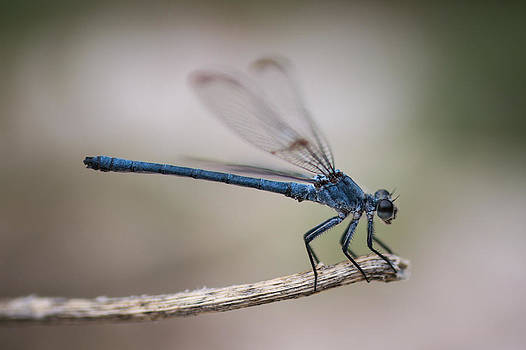 Magical Dragonfly   by Ran Yehezkel