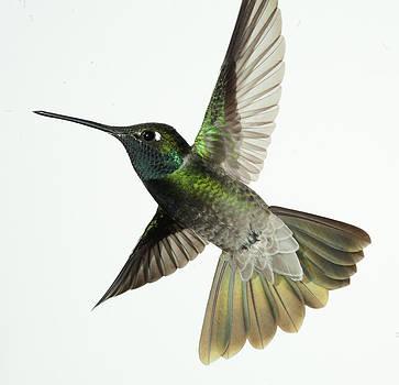 Gregory Scott - Magnificent Hummingbird - Eugenes fulgens