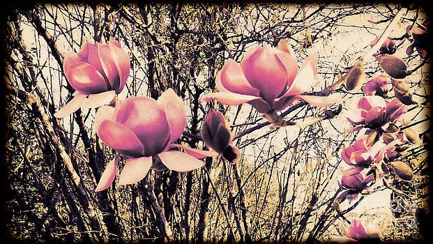 Magnificent Magnolia's by Karen Lewis