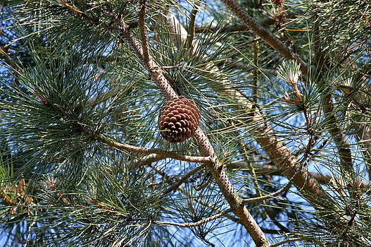 John Tidball  - Magnificent Pine