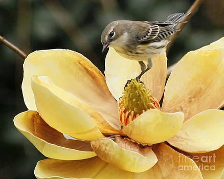 Magnolia and Warbler Photo by Luana K Perez