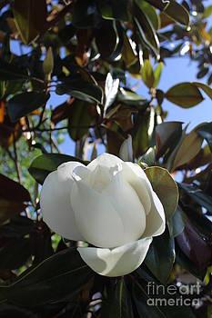 Magnolia Bloom by Jeanne Forsythe