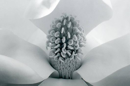 Magnolia by Karen M Blankenship