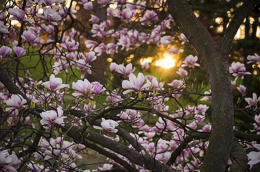 Magnolia Sunrise by Tracy Munson