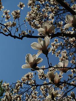 Magnolia Tree by Rita Haeussler