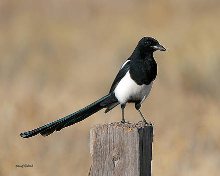 Magpie at Chatfield by Stephen  Johnson