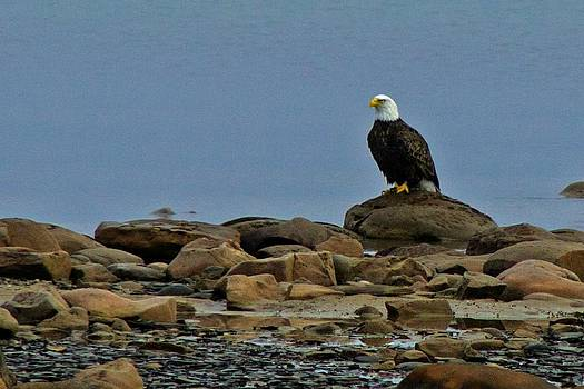 Majestic Bald Eagle by Rhonda Humphreys