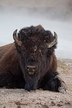 Majestic Bison by Eugene Dailey