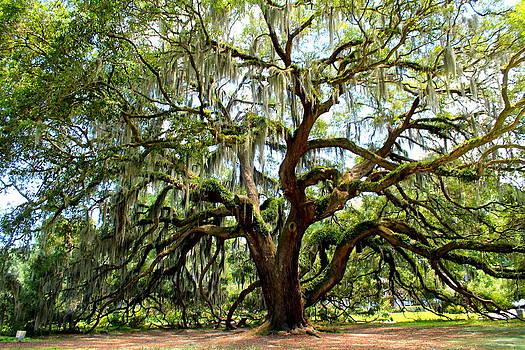 Majestic Oak 1 by Kay Mathews