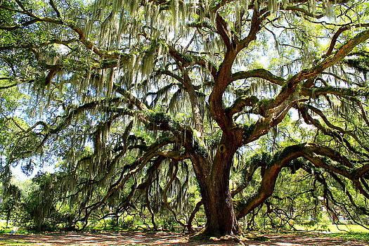 Majestic Oak 2 by Kay Mathews