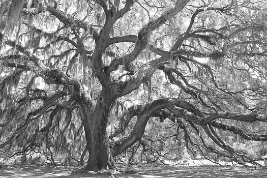 Majestic Oak 4 by Kay Mathews