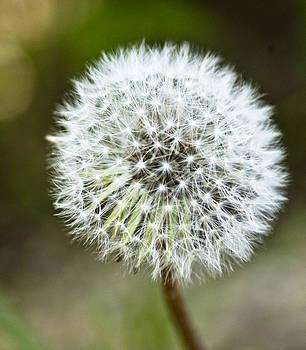 Dandelion-Flower-Make a Wish by Matthew Miller