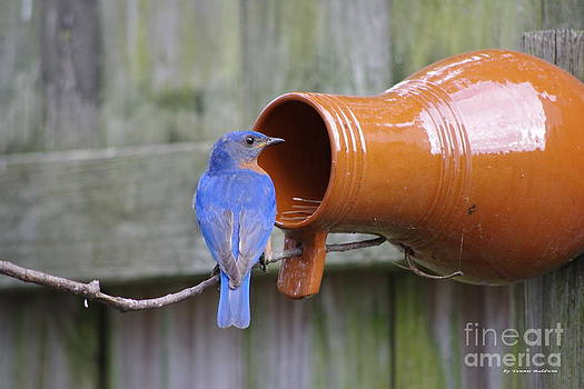 Tannis  Baldwin - Male Bluebird