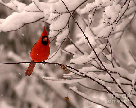 Male Cardinal in Snow by Jane Axman