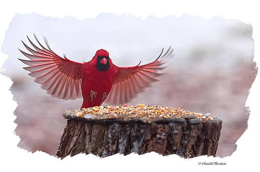 Randall Branham - Male cardinal Landing