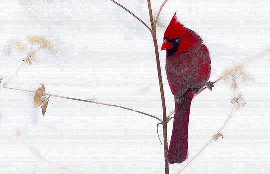 Randall Branham - MALE CARDINAL ON SNOWY WEED