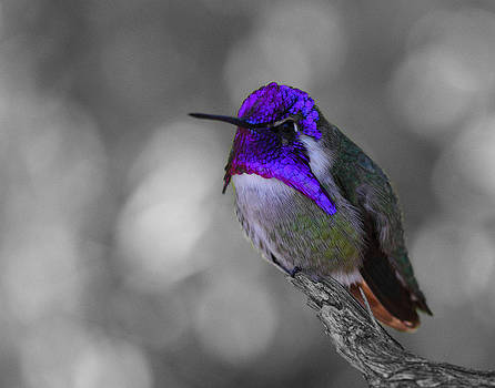 Male Costa's hummingbird by Old Pueblo Photography