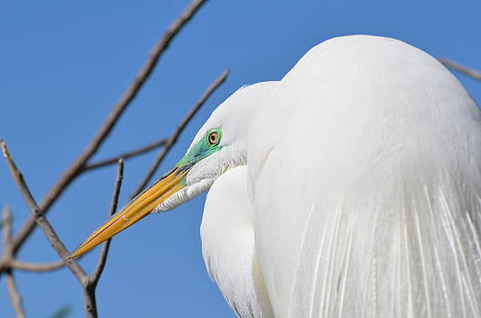 Male Great Egret Close Up by Jodi Terracina