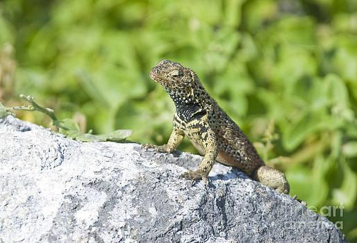 William H. Mullins - Male Lava Lizard