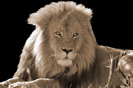 Male Lion by Chris Du Plessis