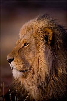 Male Lion Portrait by George Schmahl