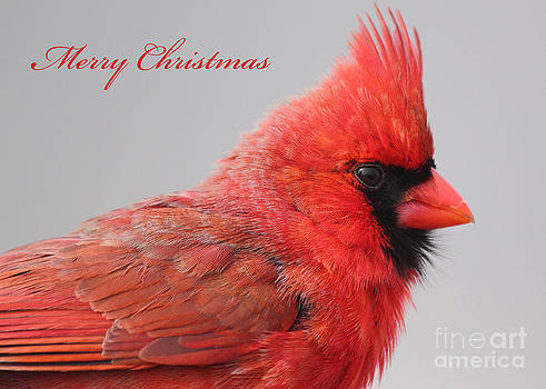 Male Northern Cardinal Greeting Card by Deanna Wright
