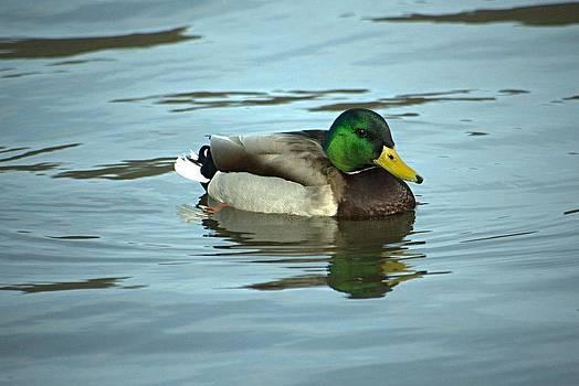 Mallard Duck by Charlene Palmer