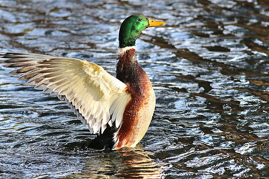 Mallard Duck Showing Off by Abram House