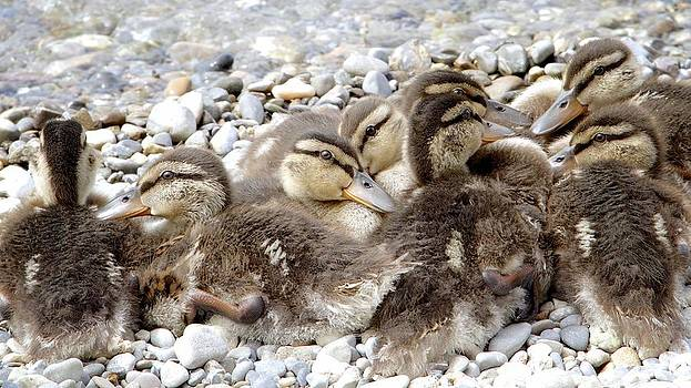 Mallard Ducklings in Spring by Colleen Williams