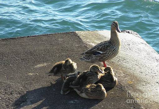 Mallard  Mother duck with babies on Lake Superior by Barbara Yearty