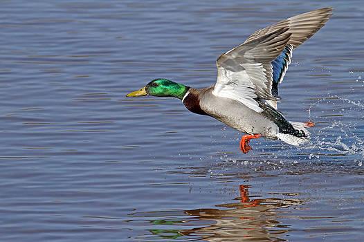 Mallard Takeoff by Jim Nelson