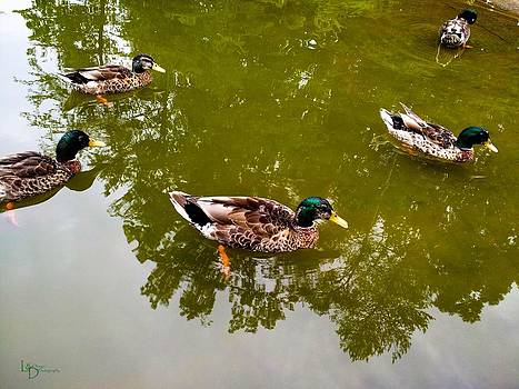 Mallards by L and D Design Photography