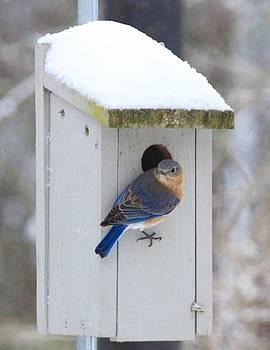 Mama Blue Bird in Winter by Brad Fuller
