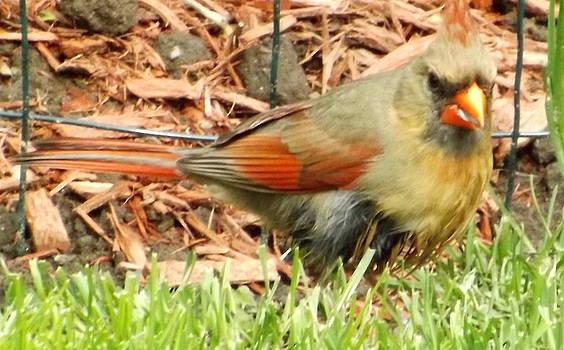Mama Cardinal by Carolyn Mortensen