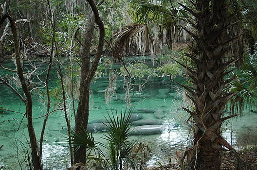 Manatees at Blue Springs by Sheri Heckenlaible