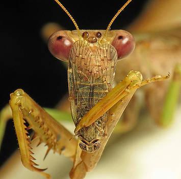 Mantis Dinner by Walter Klockers