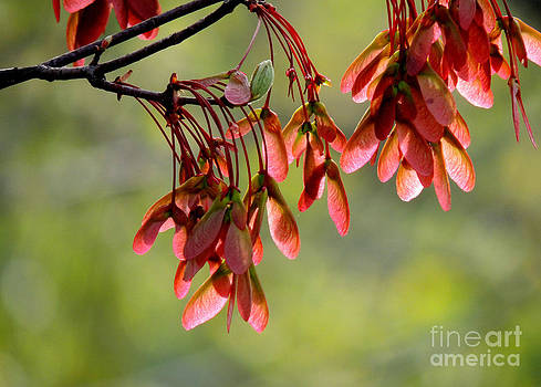 Maple Airplanes by Pamela Rivera