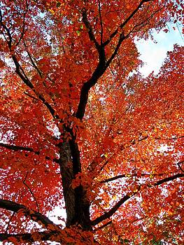 Maple in the Sky by Anne Sterling