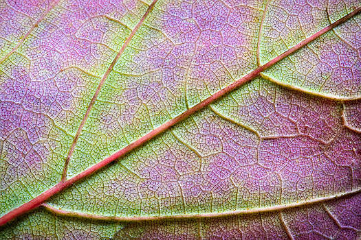 Adam Romanowicz - Maple Leaf Macro